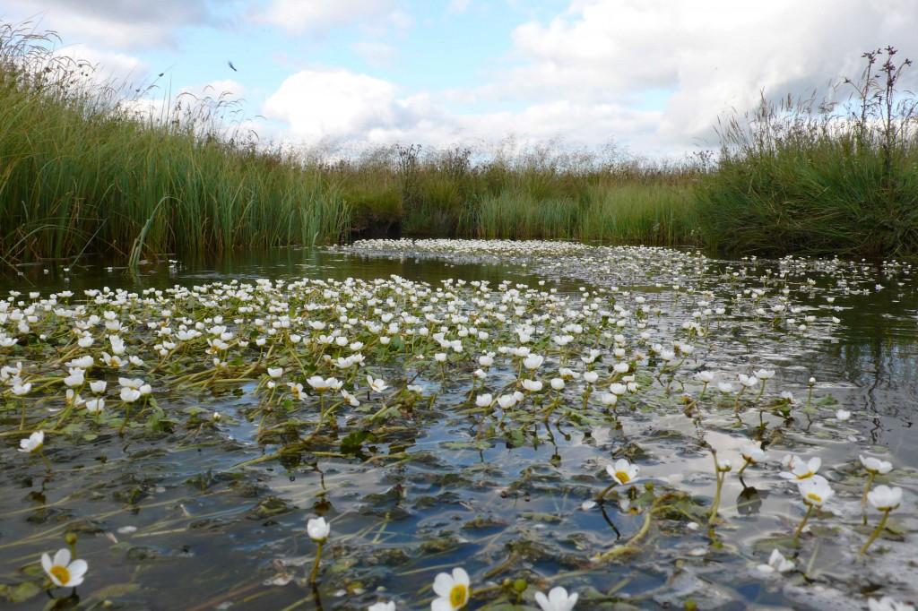 Ruisseau où vit le campagnol amphibie (Aubrac)